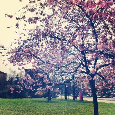 ベルリンの桜の木